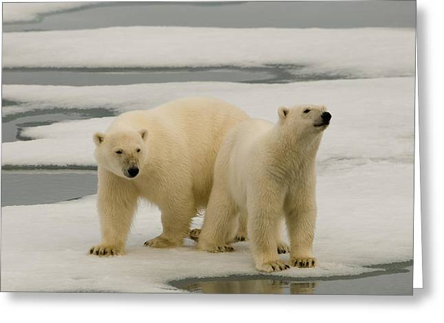 Svalbard Greeting Cards - Two Polar Bears Stand On A Piece Of Ice Greeting Card by Norbert Rosing