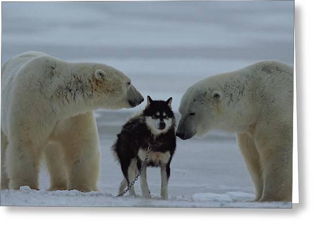 Two Polar Bears Ursus Maritimus Sniff Greeting Card by Norbert Rosing