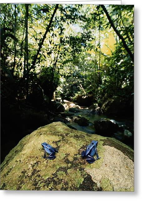 Forests And Forestry Greeting Cards - Two Rare And Endangered Blue Poison Greeting Card by George Grall