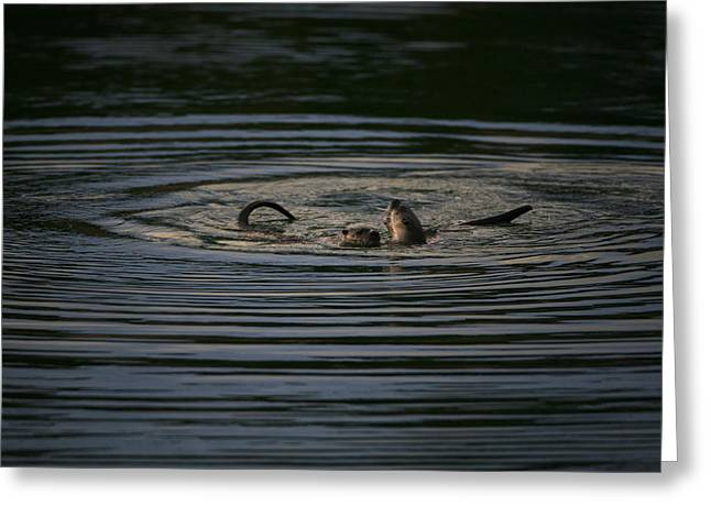 Bridger Teton Greeting Cards - Two River Otters Play In The Water Greeting Card by Drew Rush