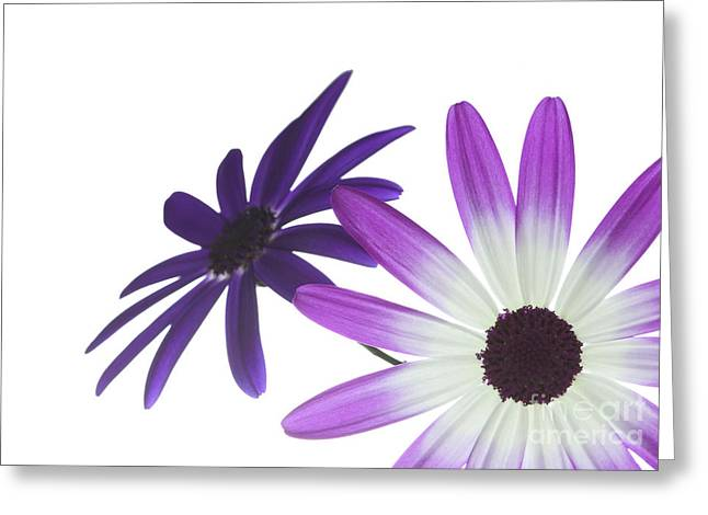 Cinerarea Greeting Cards - Two Senettis Greeting Card by Richard Thomas