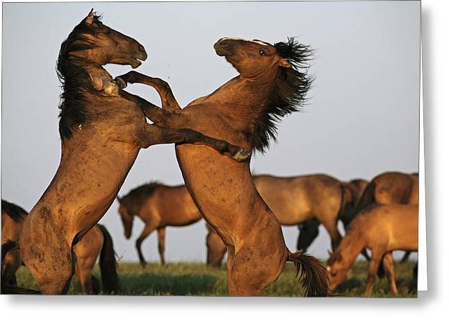 Rearing Up Greeting Cards - Two Stallions Fight At A Wild Horse Greeting Card by Melissa Farlow