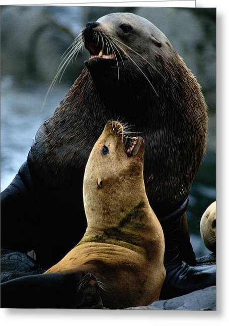 Animal Human Coexistence Problems Greeting Cards - Two Steller Sea Lions Eumetopias Greeting Card by Joel Sartore