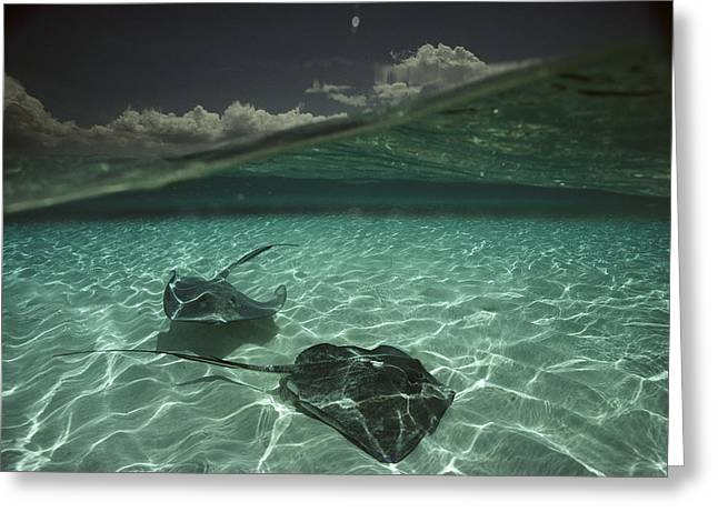 Southern Stingrays Greeting Cards - Two Stingrays Cruise The Shallows Greeting Card by David Doubilet