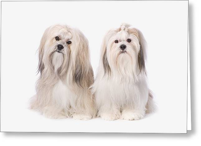 Two White Lhasa Apso Puppies St. Albert Greeting Card by Corey Hochachka