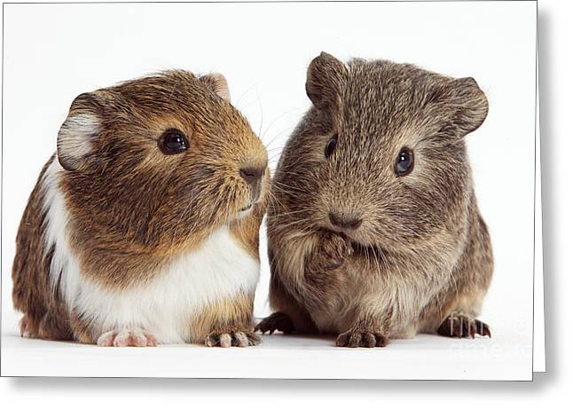 House Pet Greeting Cards - Two Young Guinea Pigs Greeting Card by Mark Taylor