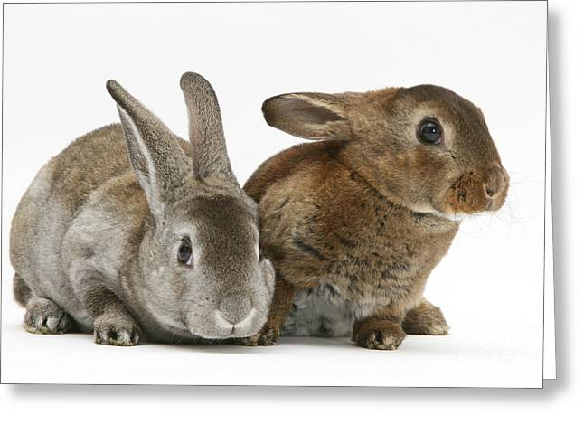 Cute Animal Portraits Greeting Cards - Two Young Rex Rabbits Greeting Card by Jane Burton