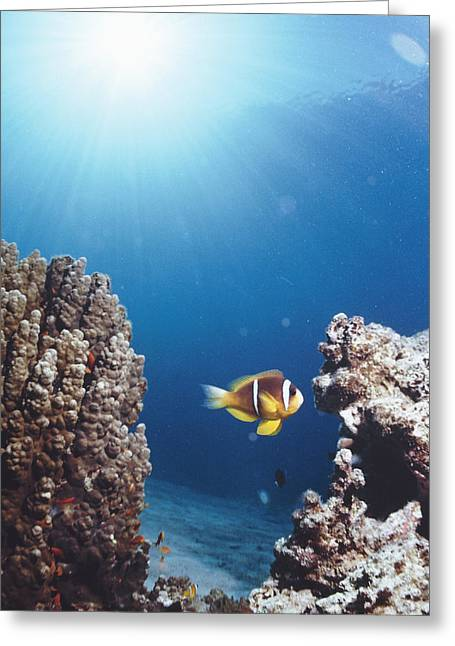Anemonefish Greeting Cards - Twoband Anemonefish Greeting Card by Peter Scoones
