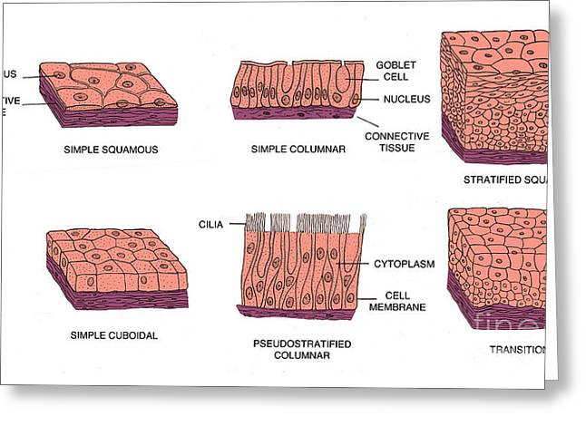Squamous Greeting Cards - Types Of Epithelial Cells Greeting Card by Science Source