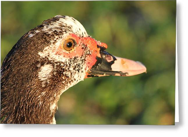 Water Fowl Greeting Cards - Ugly Duck Greeting Card by Lauri Novak