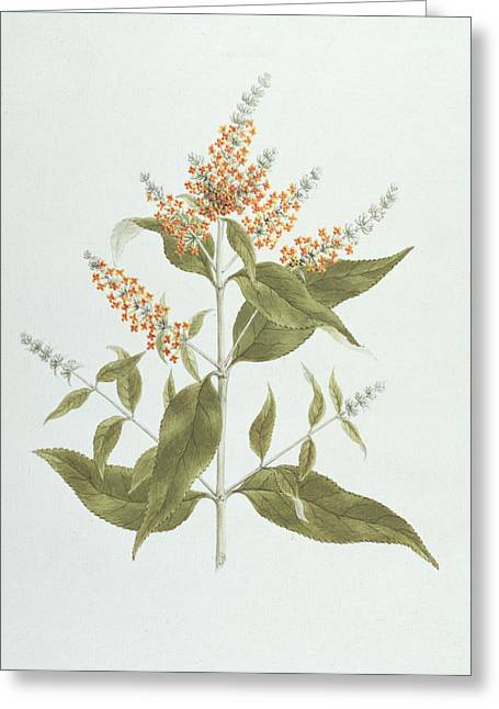Graphite Photographs Greeting Cards - Umtar - Buddleia polystachya Greeting Card by James Bruce