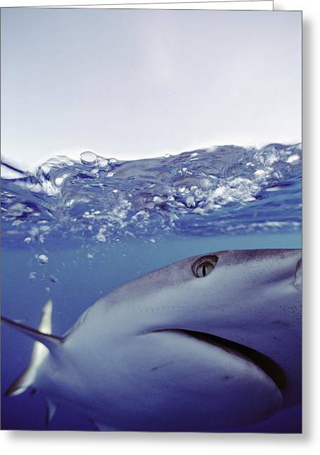 Aquatic Split Level Views Greeting Cards - Underwater View Of Gray Reef Shark Greeting Card by Bill Curtsinger
