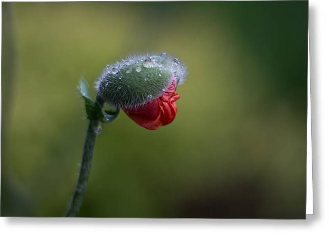Papaver Orientale Greeting Cards - Unfolding Greeting Card by Jakub Sisak