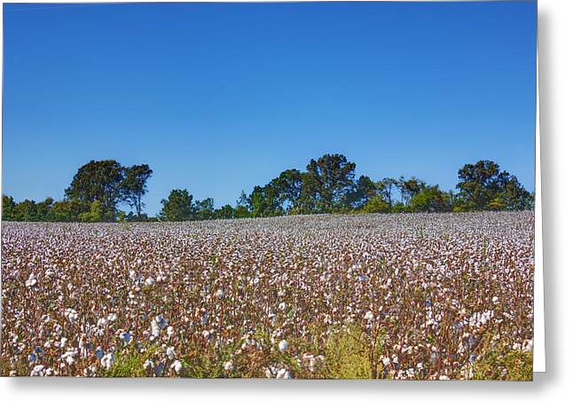Best Sellers -  - Textile Photographs Greeting Cards - Union Grove Cotton Field Greeting Card by Barry Jones