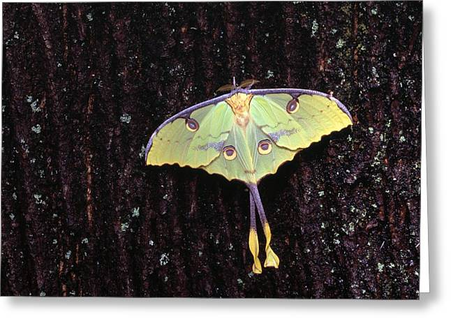Proportionate Greeting Cards - Unique Butterfly Resting On Tree Bark Greeting Card by Natural Selection Jeff Lepore