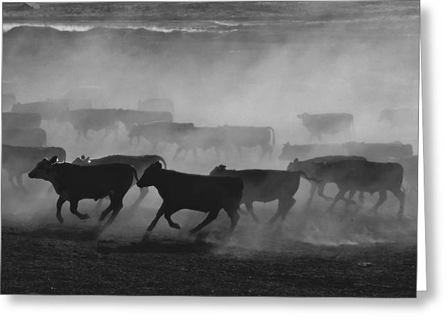 National Geographic - Greeting Cards - United States, Kansas Cattle Running Greeting Card by Keenpress
