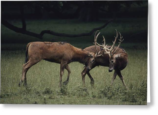 Aggression And Competition Greeting Cards - Untitled Greeting Card by Bates Littlehales