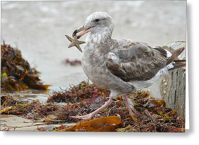Seagull Carrying Starfish Greeting Cards - Unwilling Star Greeting Card by Fraida Gutovich