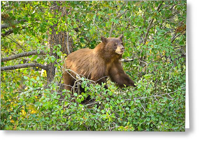 Grand Teton Greeting Cards - Up A Tree Greeting Card by Greg Norrell