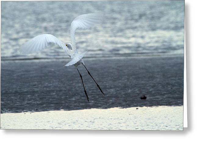 Great White Egret Greeting Cards - Up and Away Greeting Card by Karol  Livote