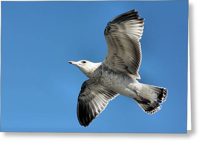 Flying Seagull Greeting Cards - Up Up and Away Greeting Card by Kristin Elmquist