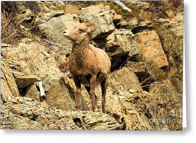 Sheep On Rocks Greeting Cards - Up Where? Greeting Card by Adam Jewell