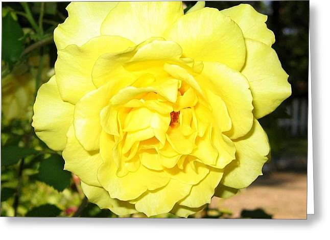 Upbeat Yellow Rose Greeting Card by Will Borden