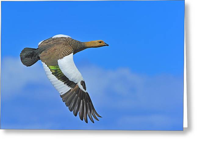 Ganders Greeting Cards - Upland Goose Greeting Card by Tony Beck