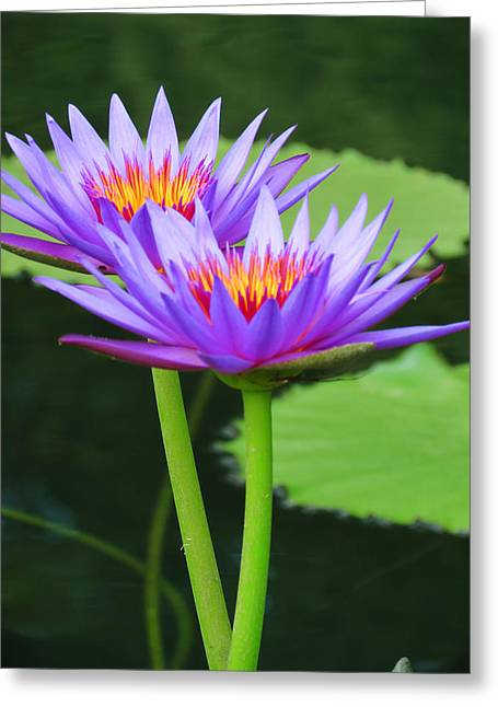 Violet Blue Digital Greeting Cards - Upright Lilies Greeting Card by Vijay Sharon Govender