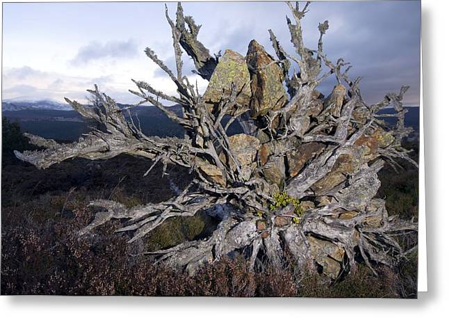 Tree Roots Photographs Greeting Cards - Uprooted Scots Pine Tree Greeting Card by Duncan Shaw