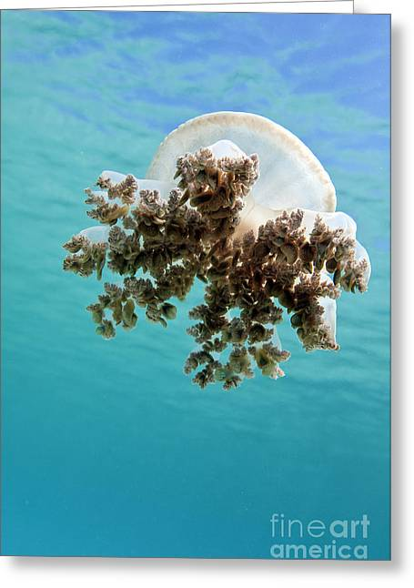 Undersea Photography Greeting Cards - Upside Down Jellyfish In Caribbean Sea Greeting Card by Karen Doody