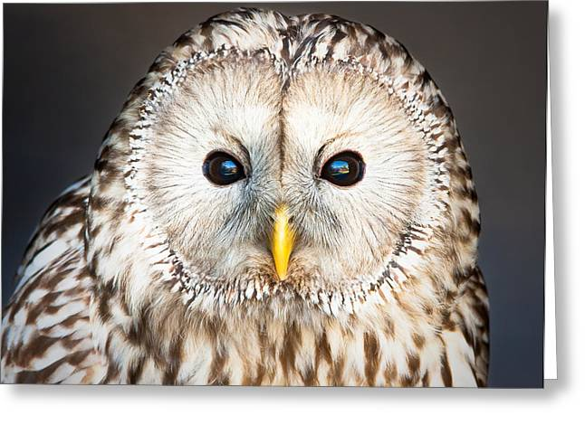 Ural owl Greeting Card by Tom Gowanlock