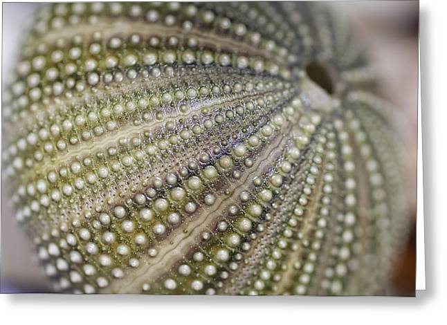 Shell Texture Greeting Cards - Urchin Texture Greeting Card by Laura George