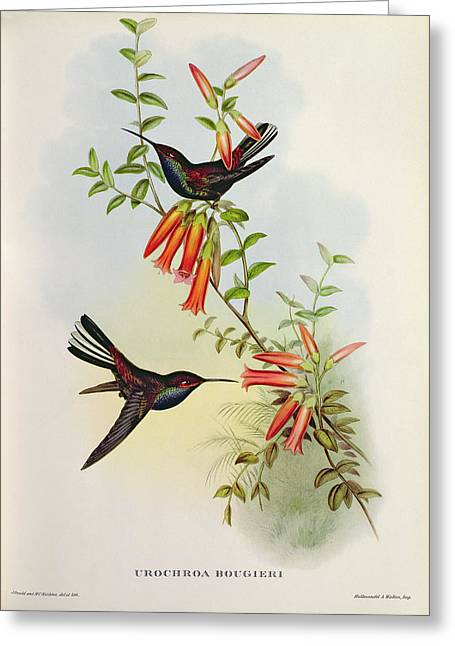 Two By Two Greeting Cards - Urochroa Bougieri Greeting Card by John Gould