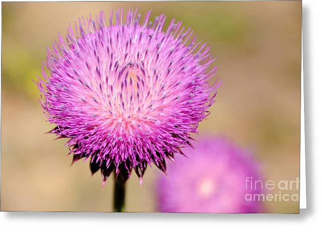 Invasive Species Greeting Cards - Utah Thistle Flower Greeting Card by Gary Whitton