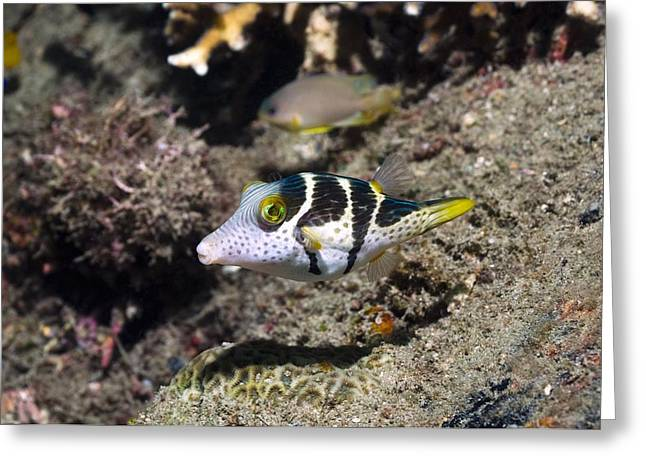 Balloonfish Greeting Cards - Valentinis Sharpnose Puffer Greeting Card by Georgette Douwma