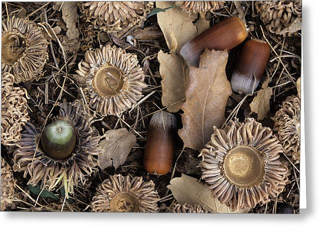 Acorn Greeting Cards - Valonia Oak Acorns (quercus Macrolepis) Greeting Card by Bob Gibbons
