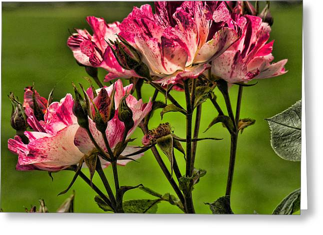 Variegated Greeting Cards - Variegated Roses Greeting Card by Bonnie Bruno