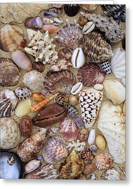 Variety Of Shells Greeting Cards - Various Conch, Cowry, Clam And Other Greeting Card by Rinie Van Meurs