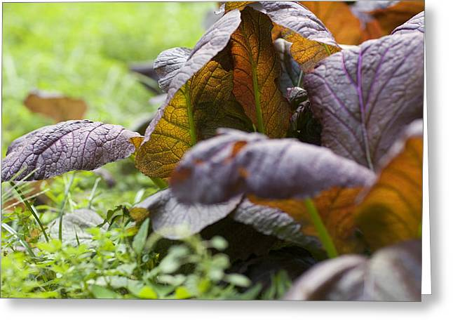 Lettuce Greeting Cards - Vegetable Garden Greeting Card by Al Hurley