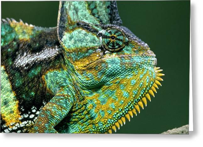 Veiled Chameleon Chamaeleo Calyptratus Greeting Card by Ingo Arndt