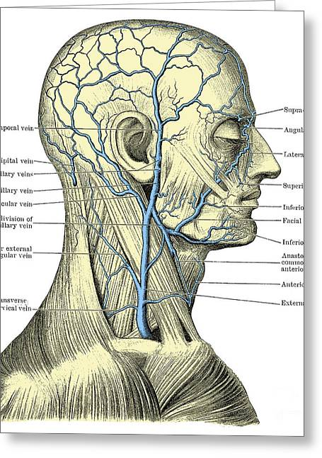 Veins Of The Head And Neck Greeting Card by Science Source
