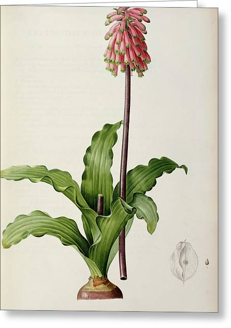Coloured Flower Greeting Cards - Veltheimia Capensis Greeting Card by Pierre Joseph Redoute