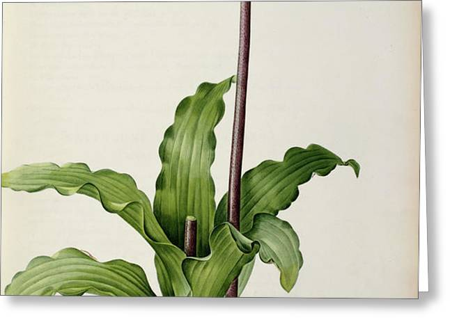 Veltheimia Capensis Greeting Card by Pierre Joseph Redoute