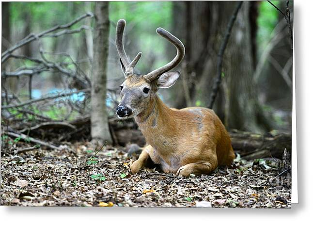 Woodsman Greeting Cards - Velvet Buck at rest  Greeting Card by Paul Ward
