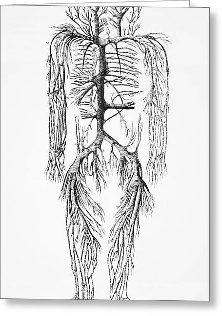 Circulatory System Greeting Cards - Venous System, 18th Century Greeting Card by
