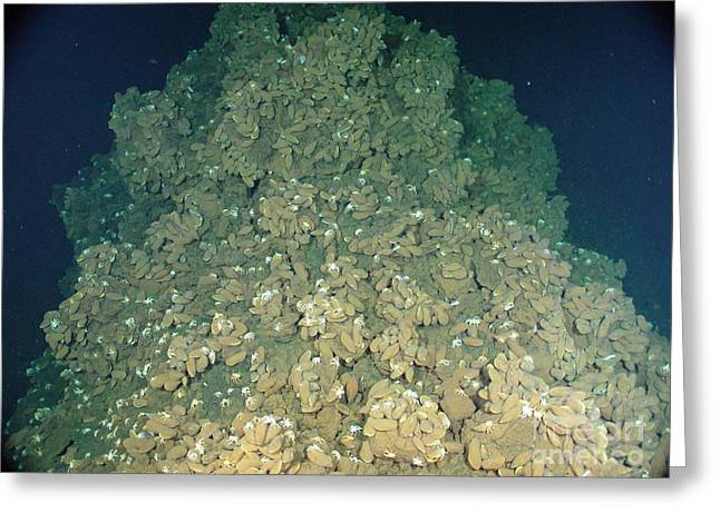 Mariana Greeting Cards - Vent Mussels Greeting Card by Science Source