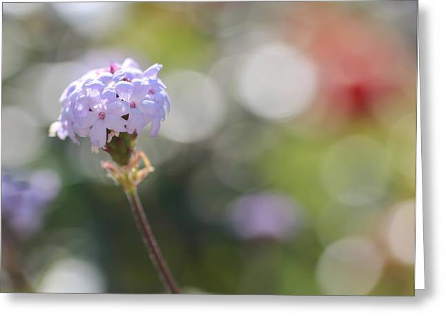 Verbena Greeting Cards - Verbena Greeting Card by Heidi Smith