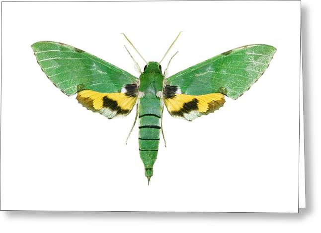 Verdant Greeting Cards - Verdant Sphinx Hawkmoth Greeting Card by Lawrence Lawry