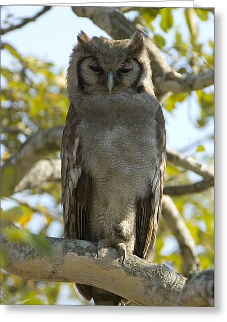 Full-length Portrait Greeting Cards - Verreauxs Eagle Owl, Bubo Lacteus, Or Greeting Card by Paul Sutherland